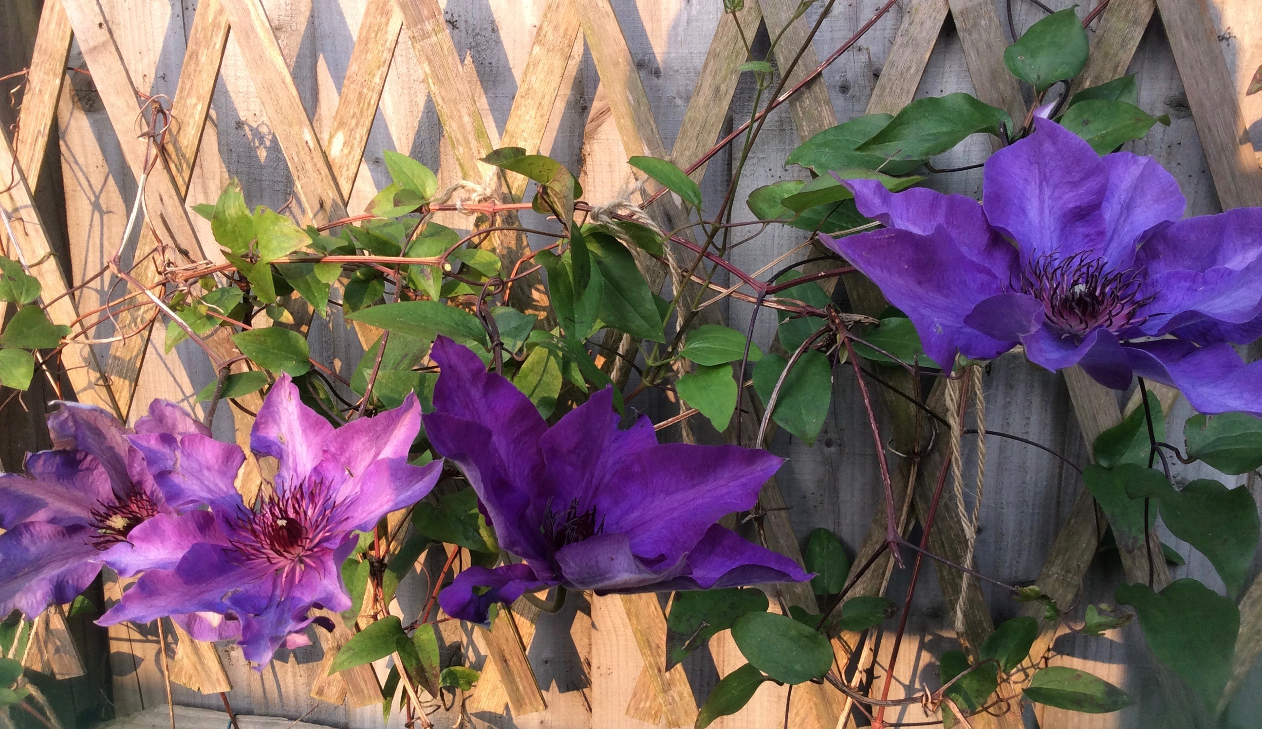 Bookwagon clematis
